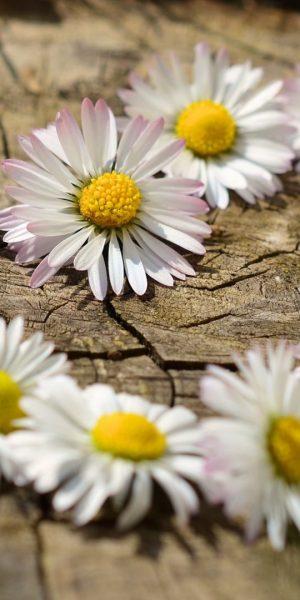daisy-712898_1920
